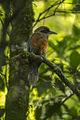 Rufous-capped Motmot - Intervales NP - Brazil S4E0147 (12797892283).jpg