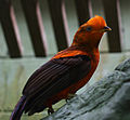 Rupicola peruvianus -Cincinnati Zoo, Ohio, USA -male-8a.jpg