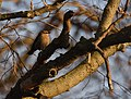 Rusty Blackbird at sunset (46382719961).jpg