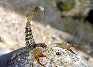 Scorpio maurus - S. maurus palmatus