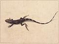 SLNSW 797171 f 31 Muricated Lizard.jpg
