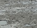 Saga Kashima mudflat Crabs and Gobioideis 01.jpg