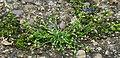 Sagina procumbens plant (04).jpg