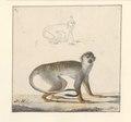 Saguinus oedipus - 1788-1863 - Print - Iconographia Zoologica - Special Collections University of Amsterdam - UBA01 IZA1000482.tif