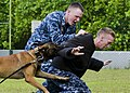 Sailors conduct a military working dog demonstration. (12370423115).jpg