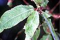 Salix amygdaloides(01).jpg