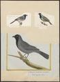 Saltator ater - 1700-1880 - Print - Iconographia Zoologica - Special Collections University of Amsterdam - UBA01 IZ15900399.tif