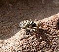 Salticus scenicus female (35834914626).jpg
