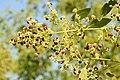 Salvadora persica by Dr. Raju Kasambe DSCN6600 (6).jpg