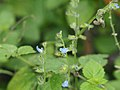 Salvia misella.jpg