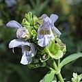 Salvia pomifera-IMG 3375.jpg