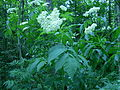 Sambucus canadensis, Fort Creek 1.JPG
