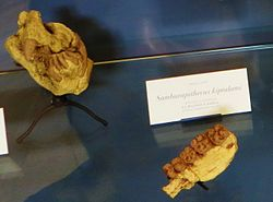 Samburupithecus httpsuploadwikimediaorgwikipediacommonsthu