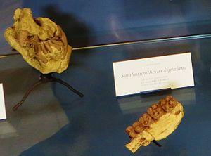 Samburupithecus - Samburupithecus kiptalami fossils, Muséum national d'histoire naturelle, Paris