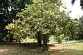 Sapindus Saponaria - 03.jpg