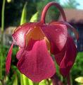 Sarracenia 'Dixie Lace' x purpurea (4917974202).jpg