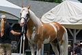 Sato - Palomino, Sabino, THoroughbred Stallion (5970379508).jpg