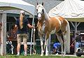 Sato - Palomino sabino Purebred Thoroughbred Stallion.jpg