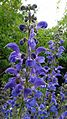 Sauge des prés, Salvia pratensis.jpg