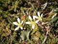 Saxifraga bryoides 02.jpg