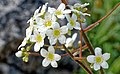 Saxifraga paniculata kds 02.jpg
