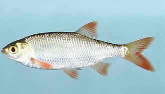 Scardinius - Common rudd (Scardinius erythrophthalmus)