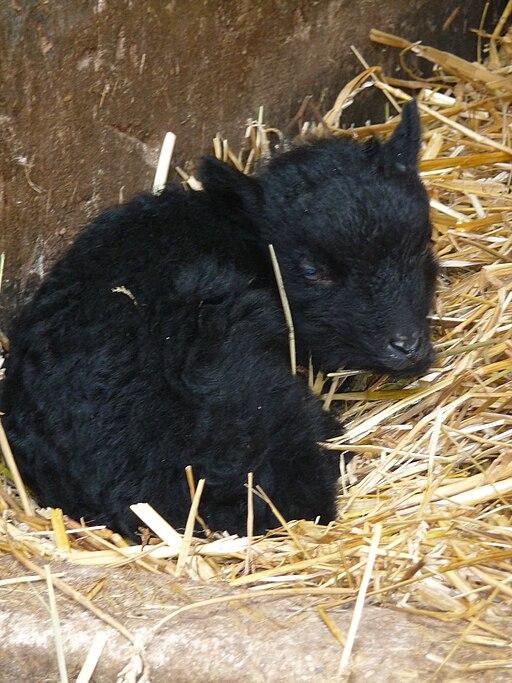 Schlafendes Lamm
