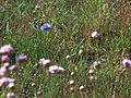 Schmetterling auf blauer Blüte Dudenhofen Düne.JPG