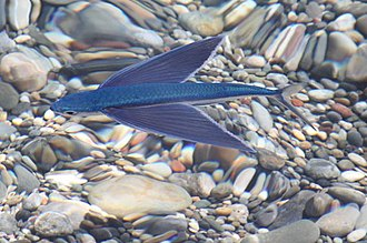 Fish locomotion - Flying fish gain sufficient lift to glide above the water thanks to their enlarged pectoral fins.