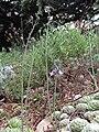 Scilla autumnalis00.jpg