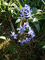 Scilla bifolia RHu.JPG