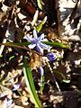 Scilla drunensis sl35.jpg