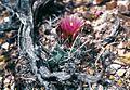 Sclerocactus blainei fh 102 NV B.jpg