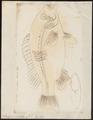 Scolopsis auratus - 1774-1804 - Print - Iconographia Zoologica - Special Collections University of Amsterdam - UBA01 IZ13000216.tif