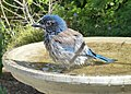 Scrub Jay bathing (25089329741).jpg
