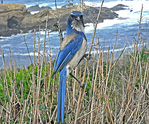 Satellite Beach, Florida - Scrub jay