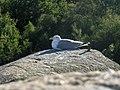 Seagull resting on a rock.jpg