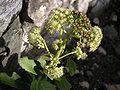 Sedum telephium ssp maximum 1.jpg