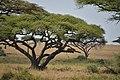 Serengeti landscape (6) (28551999591).jpg