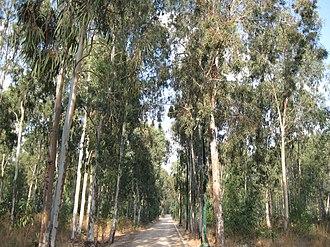 The Sergeants affair - The grove where the sergeants' bodies were hanged