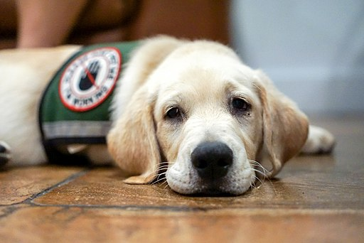 Service dog in training resting