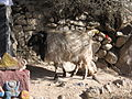 Sheep at Drepung Monastery.jpg