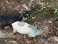 Sheep in the forest, dolakha4.jpg