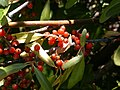 Shepherdia argentea (5200491392).jpg