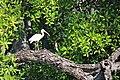 Shore birds, mangrove tour (24625803906).jpg