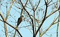 Short-billed Pigeon - Flickr - GregTheBusker.jpg