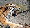 Siberian Tiger (2318954725).jpg