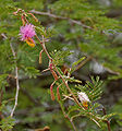 Sickle Bush (Dichrostachys cinerea) leaves & flowers in Hyderabad, AP W IMG 7211.jpg