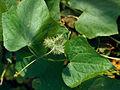 Sicyos angulatus 5309047 4x3.jpg