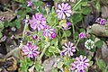 Silene colorata-3393.jpg